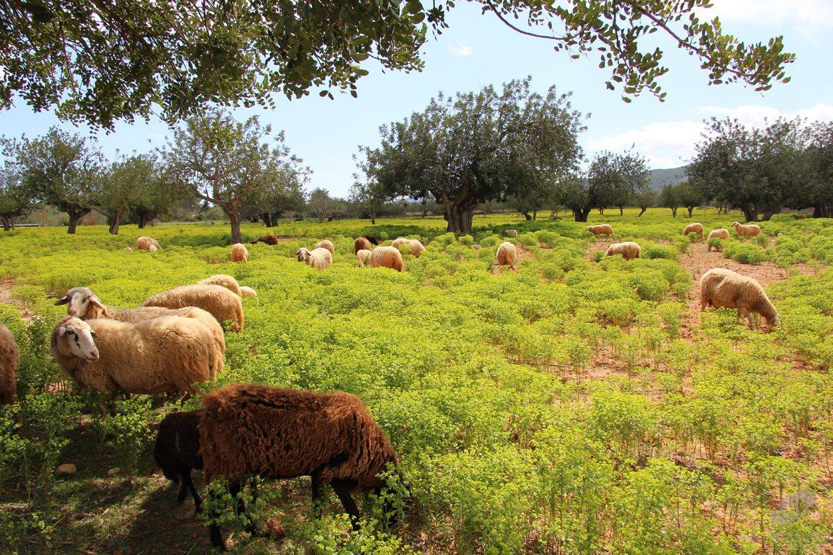 2909-sheep